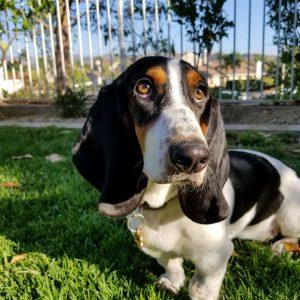 basset hound kutya nyakörv