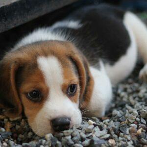 beagle kutya nyakörv