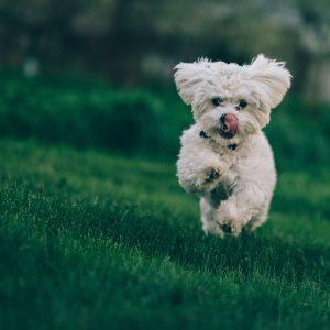 bichon havanese kutya nyakörv