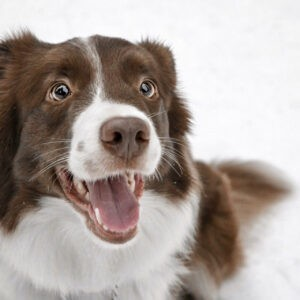 border collie kutya nyakörv