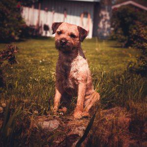 border terrier kutya nyakörv
