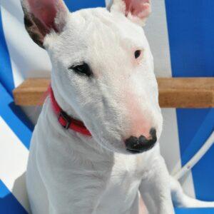 bull terrier kutya nyakörv