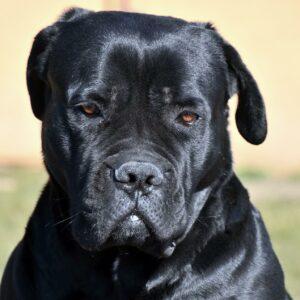 cane corso kutya nyakörv