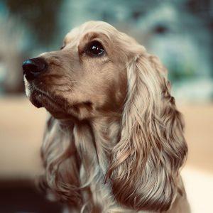 cocker spániel kutya nyakörv