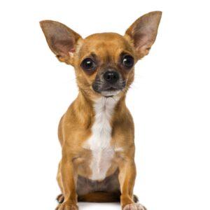 csivava kutya nyakörv