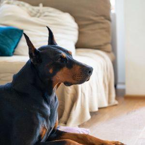 dobermann kutya nyakörv
