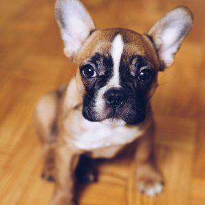 Francia Bulldog kutya nyakörv