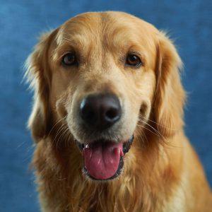 golden retriever kutya nyakörv
