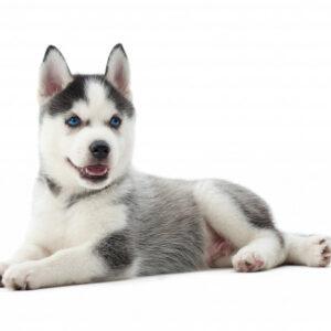 husky kutya nyakörv