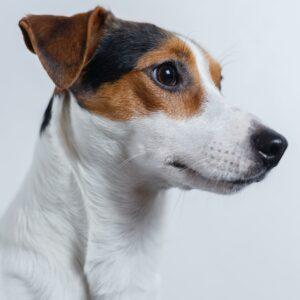 jack russel kutya nyakörv