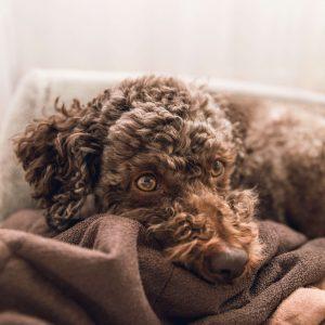 lagotto romagnolo kutya nyakörv