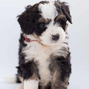 máltai selyem kutya nyakörv
