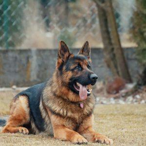 német juhász kutya nyakörv