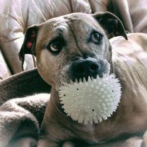 pitbull kutya nyakörv