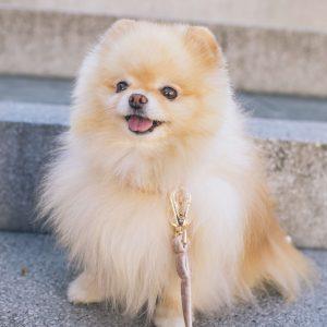 pomerániai törpespicc kutya nyakörv