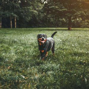 rottweiler kutya nyakörv
