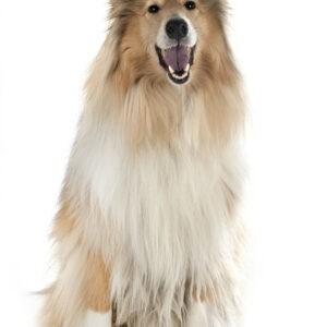 skót juhász kutya nyakörv