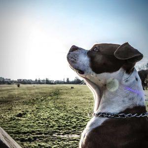 staffordshire terrier kutya nyakörv