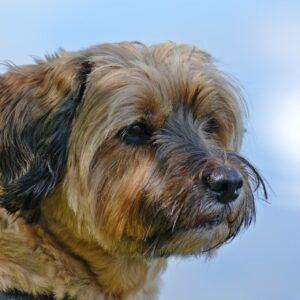 tibeti terrier kutya nyakörv