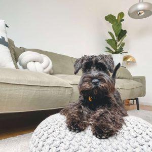 törpe schnauzer kutya nyakörv