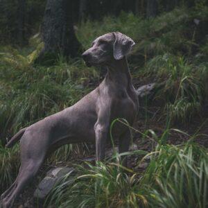 weimari vizsla kutya nyakörv