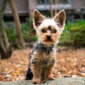 yorkshire terrier kutya nyakörv