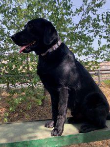 labrador snoopy kutya nyakörvben