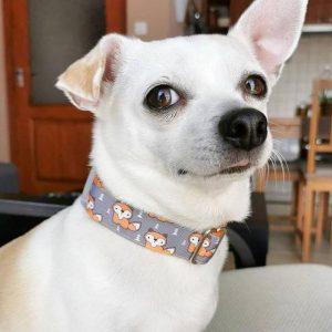 rókás kutya nyakörv csigusz csivava5